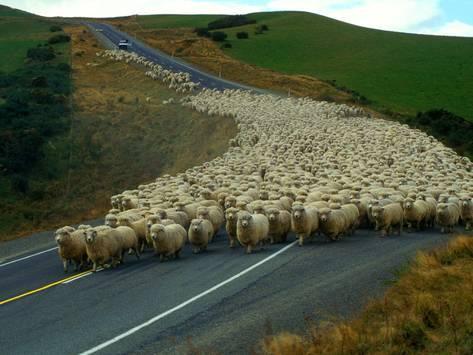 john-carnemolla-flock-of-sheep-in-roadway_a-G-8668862-14258389